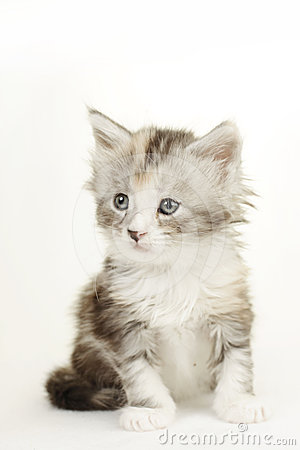Cute Maine Coon kitten.