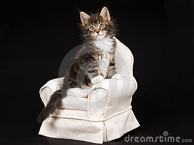 Cute Maine Coon kitten on beige chair