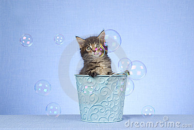 Cute Maine Coon kitten with bubbles