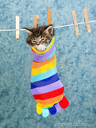 Cute Maine Coon kitten in colorful sock
