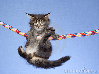 Cute Maine Coon kitten hanging from rope