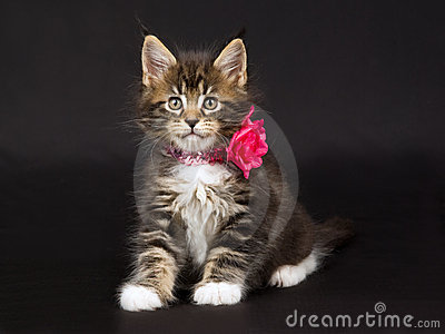 Cute Maine Coon kitten with neck collar