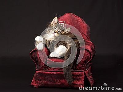 kitten in tiara