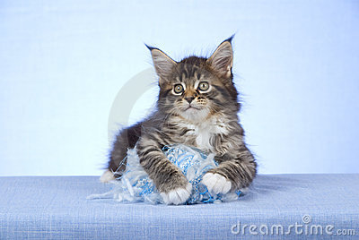 Cute Maine Coon kitten with yarn ball of wool