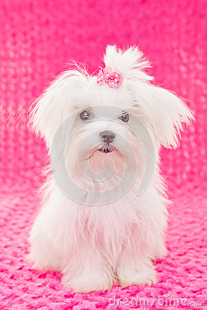 Cute maltese puppy dog