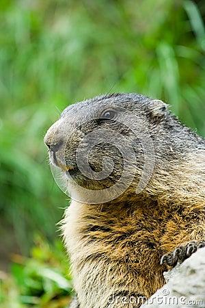 Cute marmot