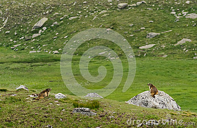 Cute marmots