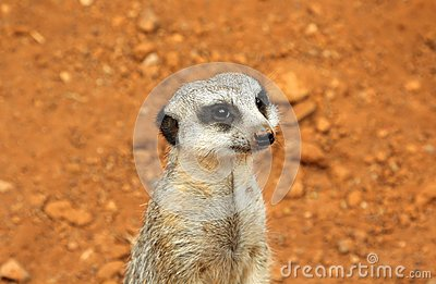 Cute meerkat suricate on guard