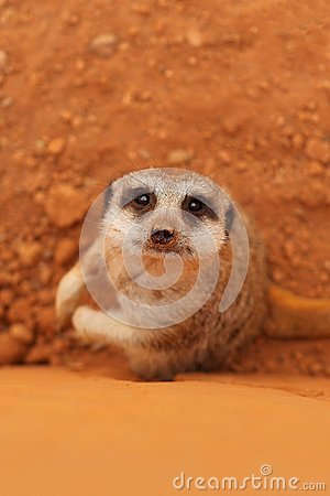 Cute meerkat suricate looking at camera