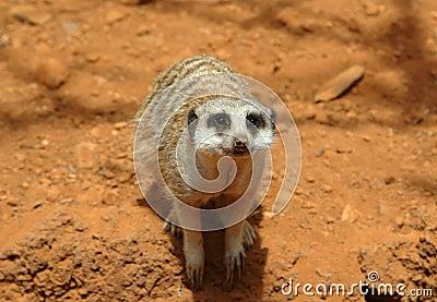Cute meerkat suricate looking at camera