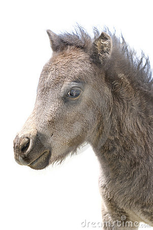 Cute Miniature Foal Portrait on White