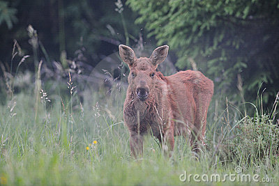 Cute moose calf - photo#15