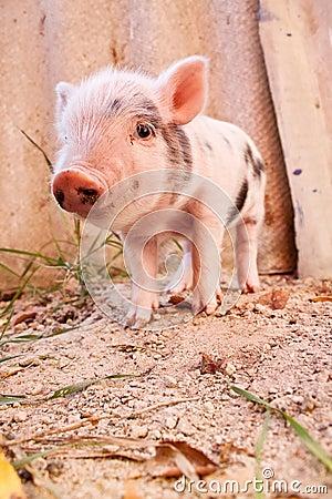 Cute muddy piglet on the farm