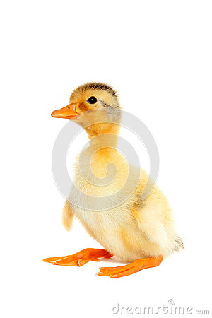 Free Cute Newborn Funny Duck Royalty Free Stock Photos - 52737688