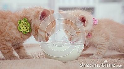 Cute orange baby kittens feeding at the milk bowl stock video footage