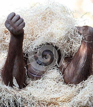 Cute orangutan hiding under hay