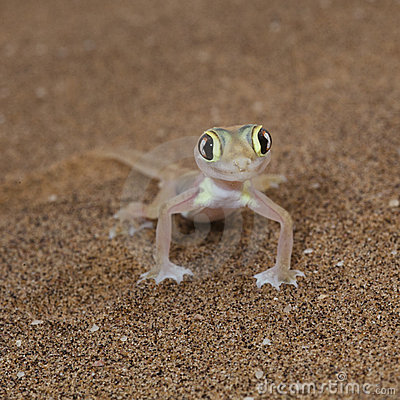 Cute Palmato gecko lizard front view