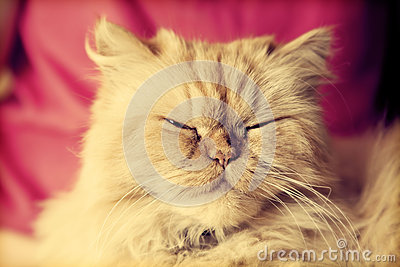 Cute Persian cat looking relaxed