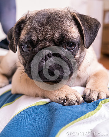 Cute Pet Pug Puppy on Boy s Chest