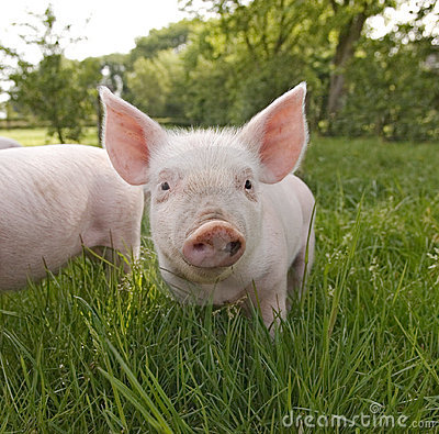 Cute Piglet Close Up Stock Images - Image: 9427724