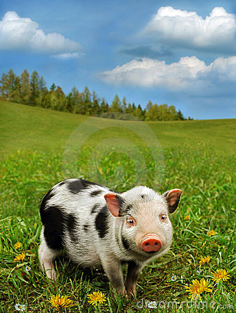 Free Cute Piglet On Spring Meadow Royalty Free Stock Photo - 12872775