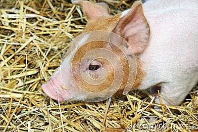 Cute piglet portrait