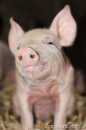 Cute Piglet Snout