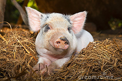 Cute piglet in the straw.
