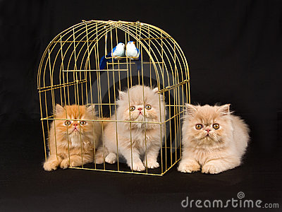 Cute pretty Persian kittens with birdcage