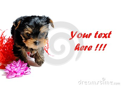 Cute Pretty Yorkshire Terrier Puppy Dog Sitting Stock Images - Image: 14885404