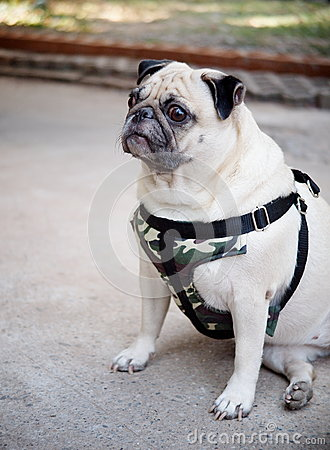 Free Cute Pug Dog Royalty Free Stock Images - 51067279