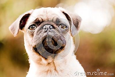 Cute pug puppy face