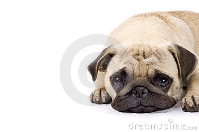Cute pug with sad eyes