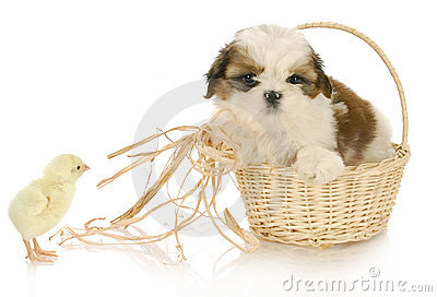Cute puppy and baby chick