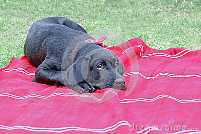 Cute puppy black labrador dog