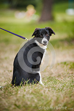 Cute puppy border collie