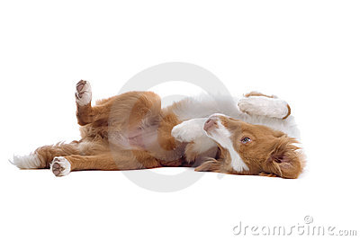 Cute puppy dog lying on back