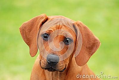 Cute puppy face portrait