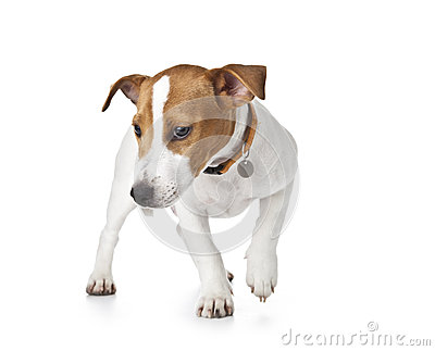 Cute Puppy Jack Russell