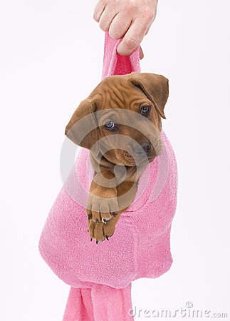 Cute puppy in pink