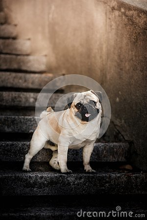 Free Cute Puppy Pug On The City Stairs Royalty Free Stock Photography - 130068567