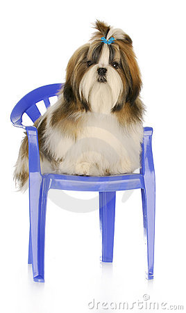 Cute Puppy Sitting On Chair Royalty Free Stock Image - Image: 17446606