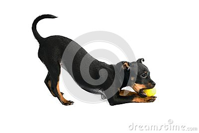 Cute puppy of toy-terrier