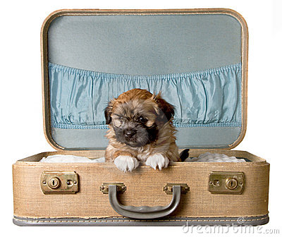 Cute Puppy In A Vintage Suitcase Stock Image - Image: 22983711