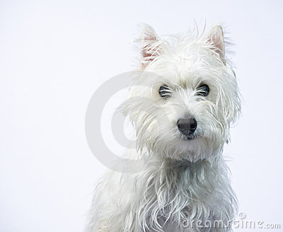 Cute Puppy - West Highlands White Terrier Portrait