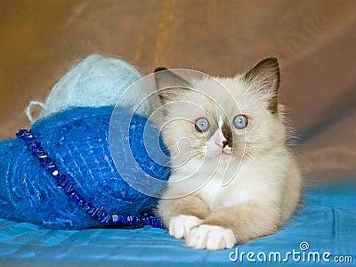 Cute Ragdoll kitten with yarn wool