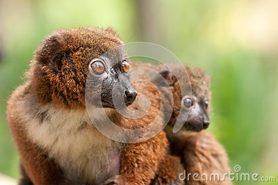 Cute Red-bellied Lemur with baby