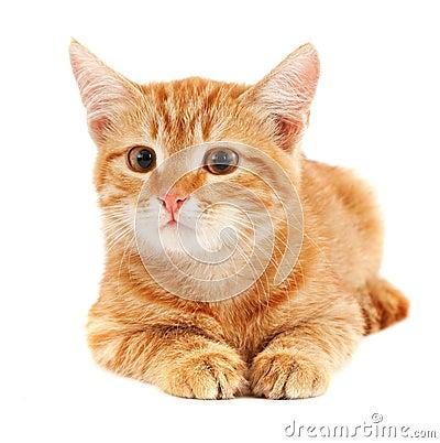 Cute red cat