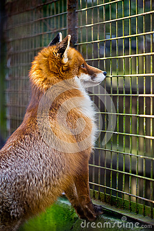 Free Cute Red Fox In The Cage Royalty Free Stock Photo - 29943855