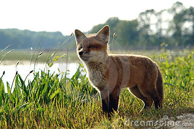 Cute Red Fox Kit in Meadow near Lake in the Wild